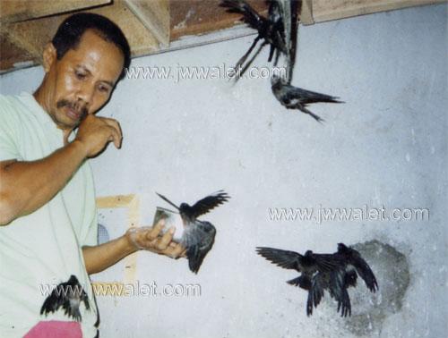 Berita Jw Walet Sarana Bisnis Budidaya Walet Alat Pemanggil Burung Walet Serbuk Penumbuh Serangga Pakan Walet